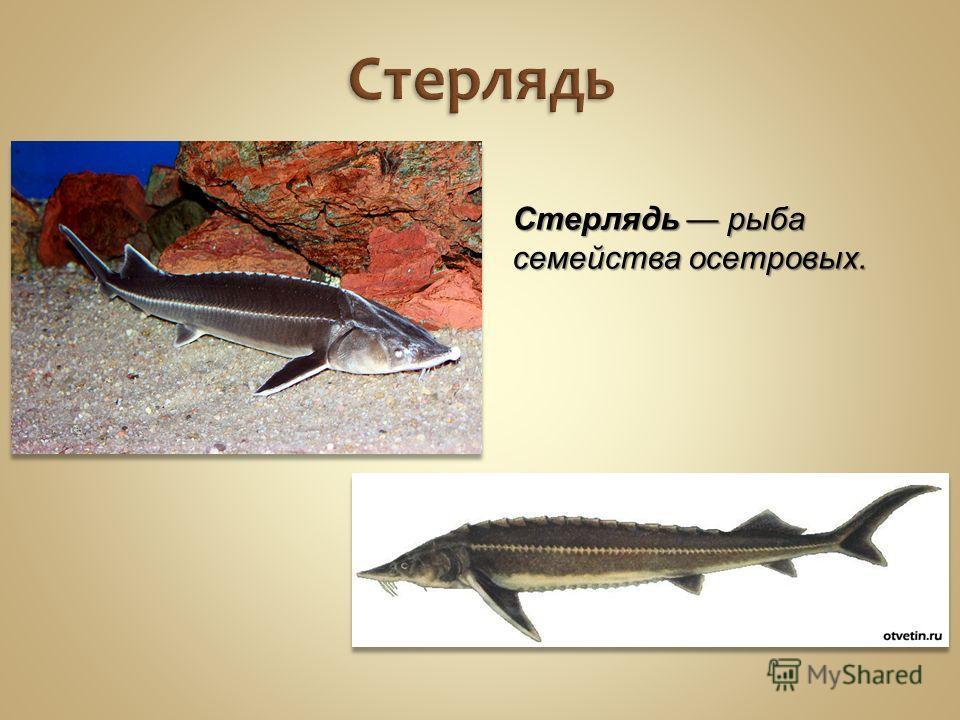 Стерлядь Стерлядь рыба семейства осетровых.