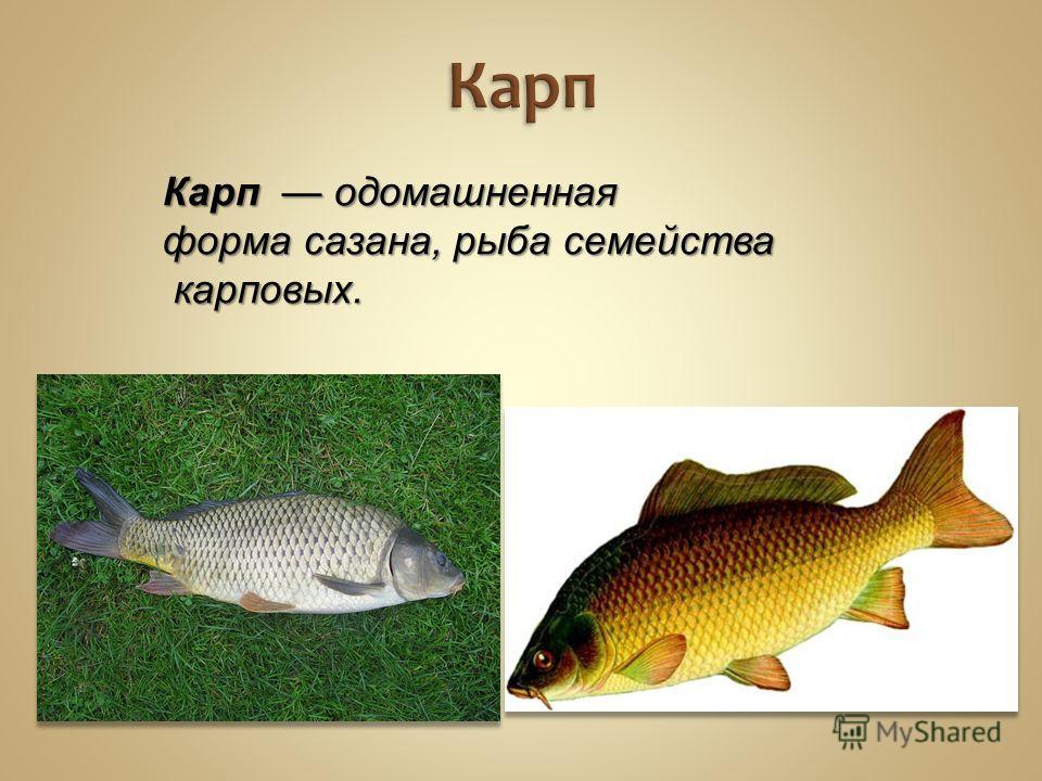 Карп Карп одомашненная форма сазана, рыба семейства карповых.