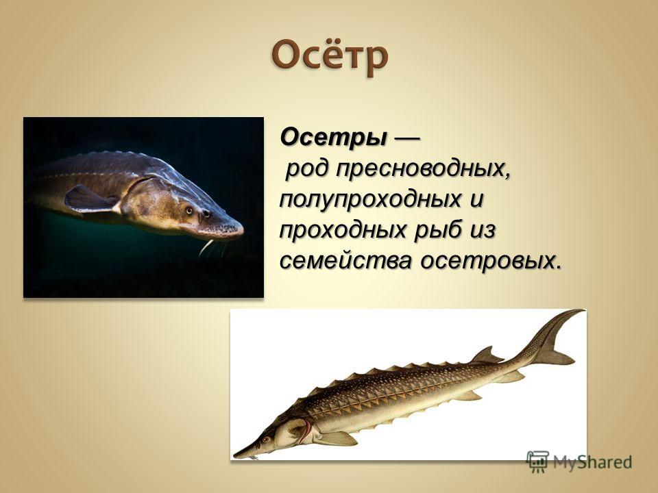 Осётр Осетры род пресноводных, полупроходных и проходных рыб из семейства осетровых.