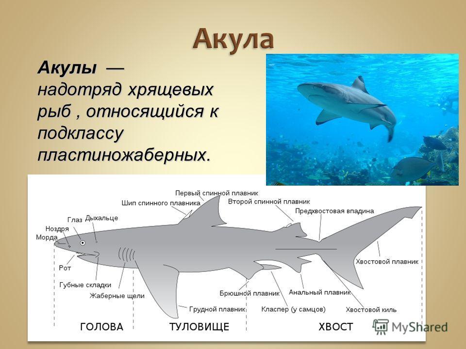 Акулы надотряд хрящевых рыб, относящийся к подклассу пластиножаберных. Акула