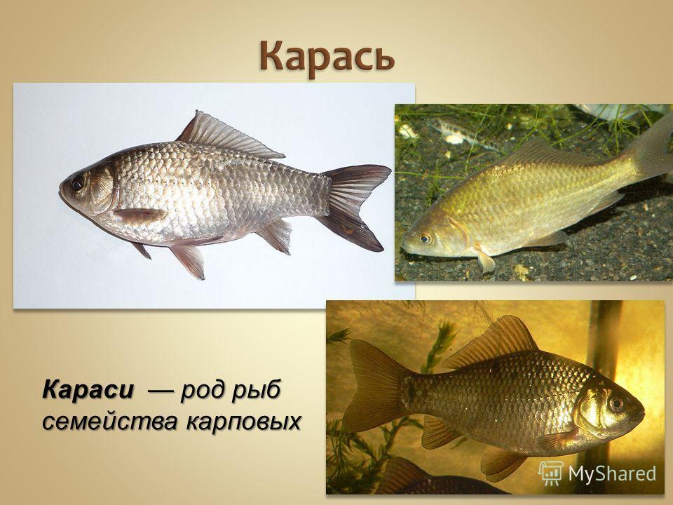 Карась Караси род рыб семейства карповых