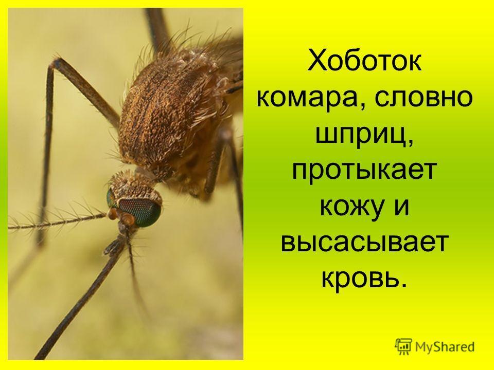 Хоботок комара, словно шприц, протыкает кожу и высасывает кровь.