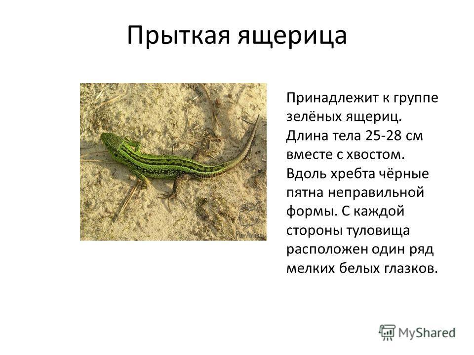 Прыткая ящерица принадлежит к группе