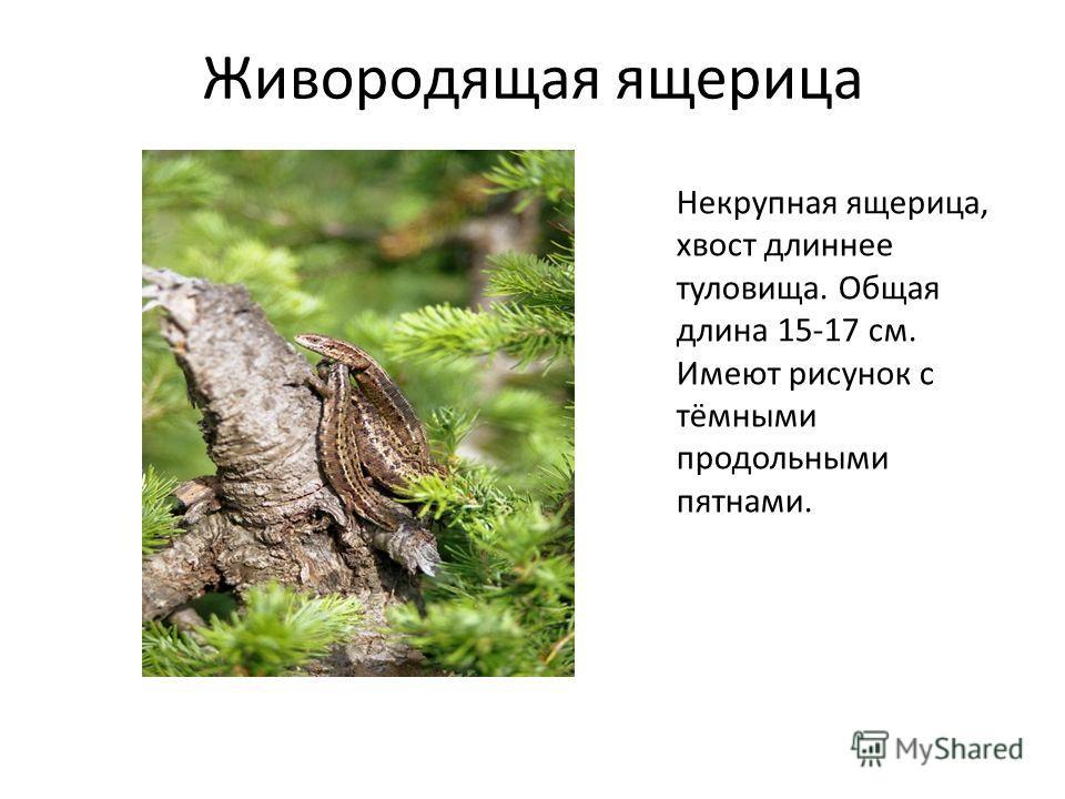 Живородящая ящерица Некрупная ящерица, хвост длиннее туловища. Общая длина 15-17 см. Имеют рисунок с тёмными продольными пятнами.