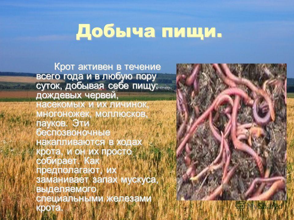 Добыча пищи. Крот активен в течение всего года и в любую пору суток, добывая себе пищу: дождевых червей, насекомых и их личинок, многоножек, моллюсков, пауков. Эти беспозвоночные накапливаются в ходах крота, и он их просто собирает. Как предполагают,