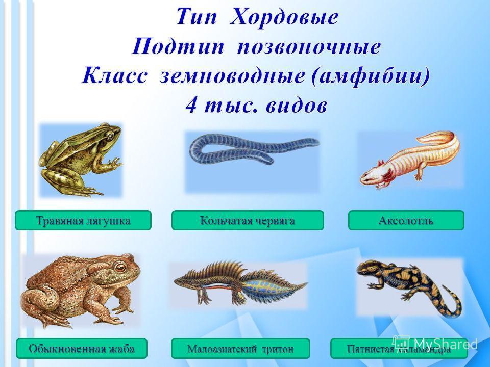 Травяная лягушка Кольчатая червяга Аксолотль Обыкновенная жаба Малоазиатский тритон Пятнистая саламандра
