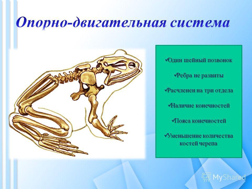 Один шейный позвонок Один шейный позвонок Ребра не развиты Ребра не развиты Расчленен на три отдела Расчленен на три отдела Наличие конечностей Наличие конечностей Пояса конечностей Пояса конечностей Уменьшение количества костей черепа Уменьшение кол