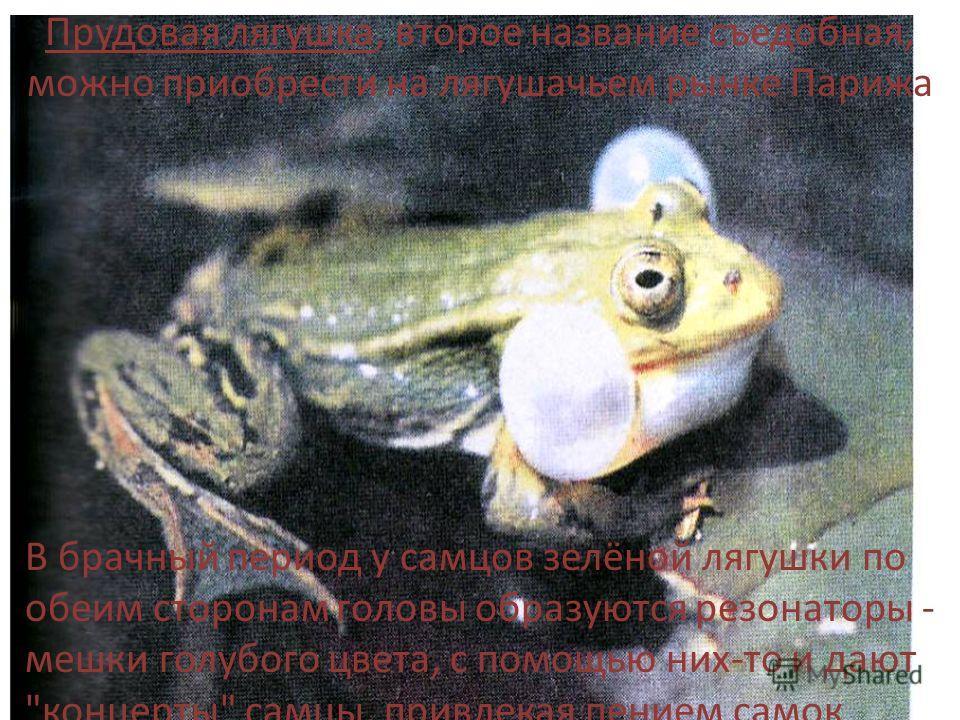 Прудовая лягушка, второе название съедобная, можно приобрести на лягушачьем рынке Парижа В брачный период у самцов зелёной лягушки по обеим сторонам головы образуются резонаторы - мешки голубого цвета, с помощью них-то и дают