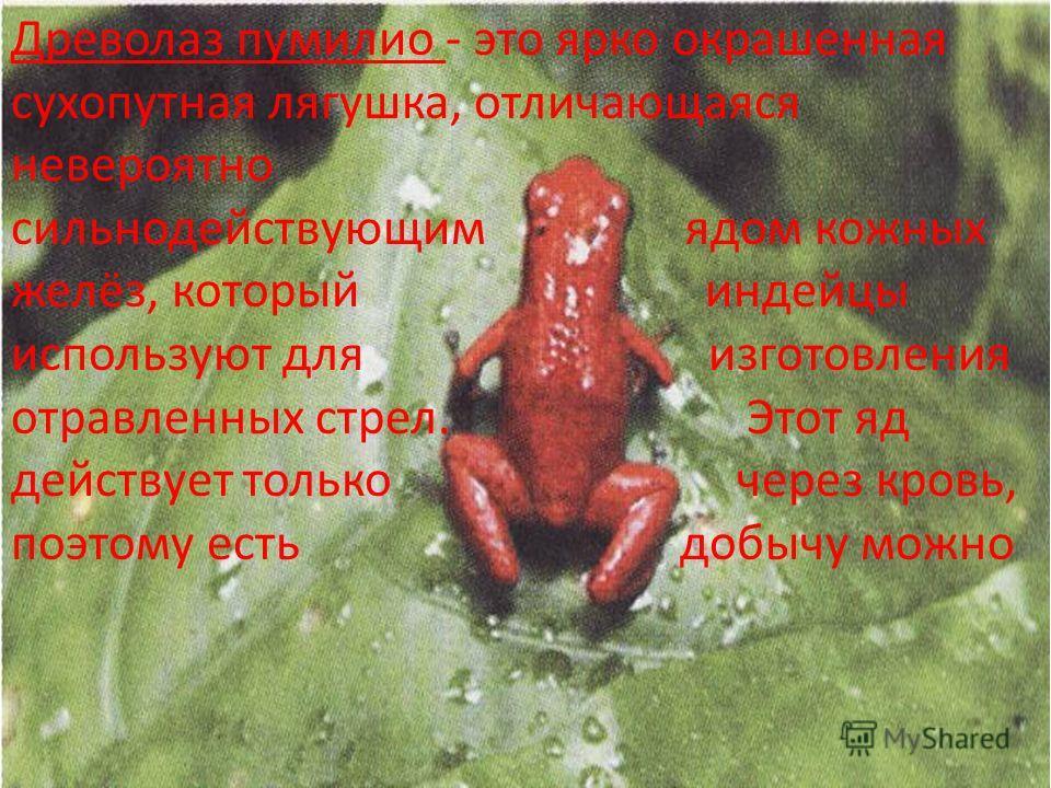 Древолаз пумилио - это ярко окрашенная сухопутная лягушка, отличающаяся невероятно сильнодействующим ядом кожных желёз, который индейцы используют для изготовления отравленных стрел. Этот яд действует только через кровь, поэтому есть добычу можно