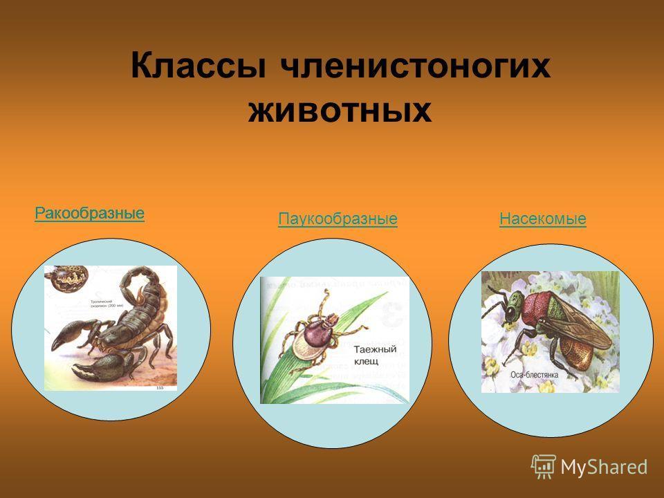 Классы членистоногих животных Ракообразные ПаукообразныеНасекомые