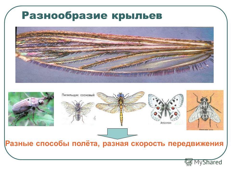 Разнообразие крыльев Разные способы полёта, разная скорость передвижения
