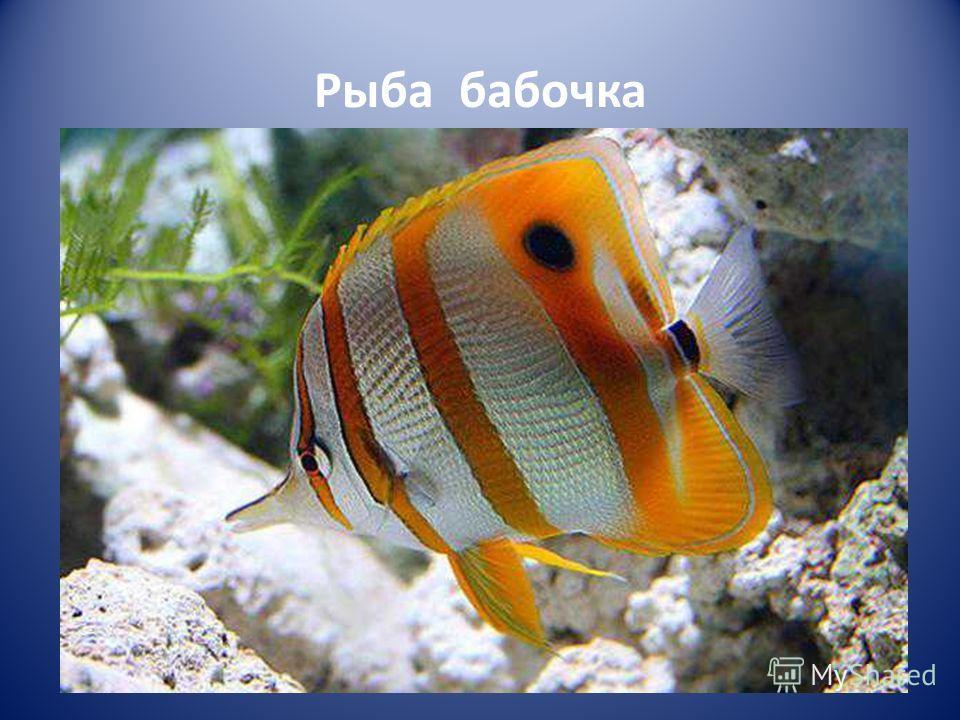 Рыба бабочка