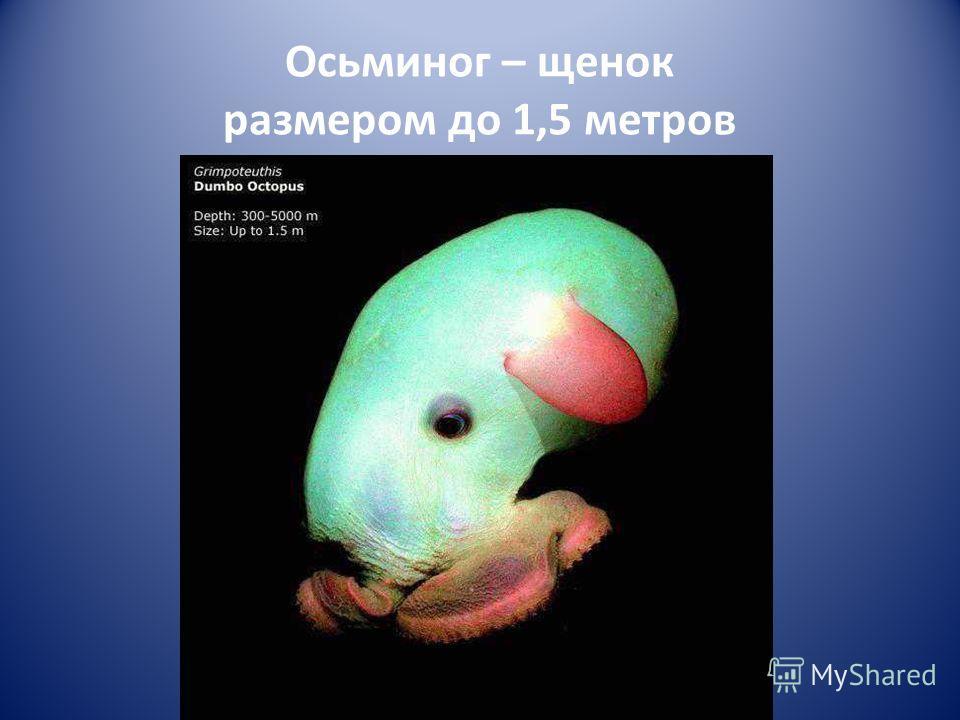 Осьминог – щенок размером до 1,5 метров