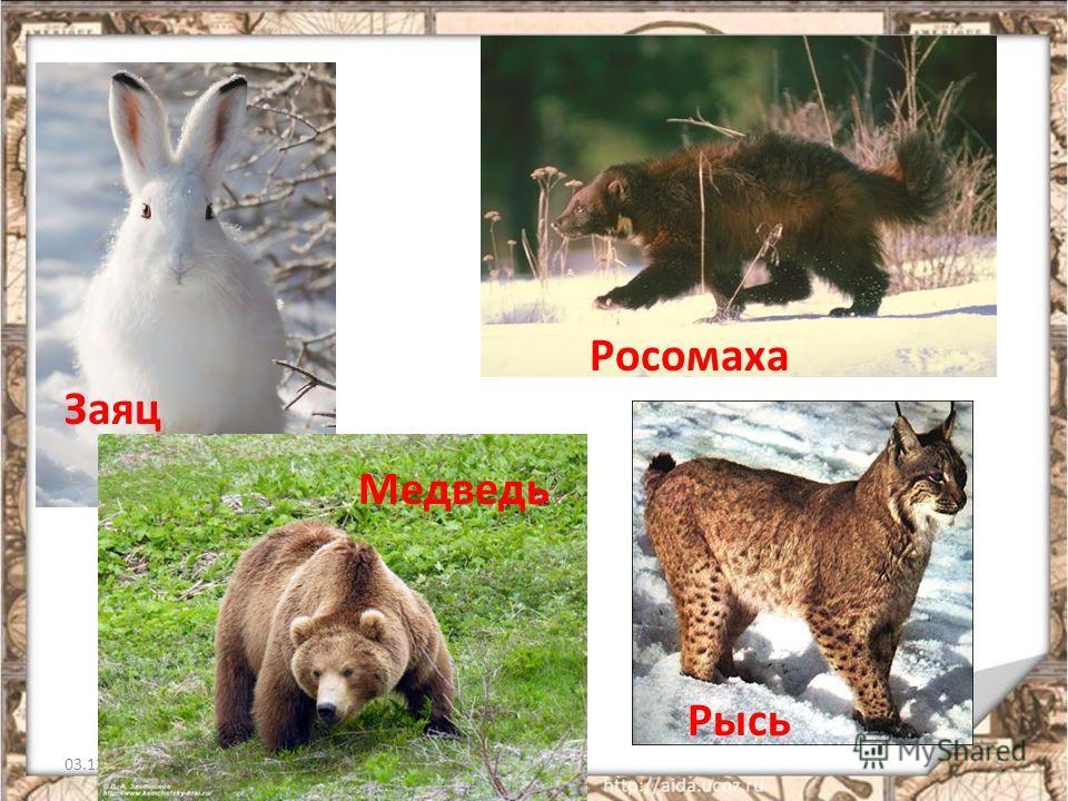 03.12.20135 Росомаха Заяц Медведь Рысь