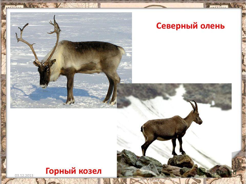 03.12.20137 Северный олень Горный козел