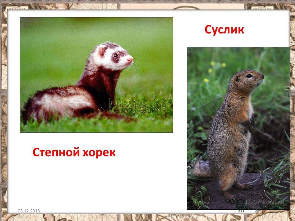 03.12.20139 Степной хорек Суслик