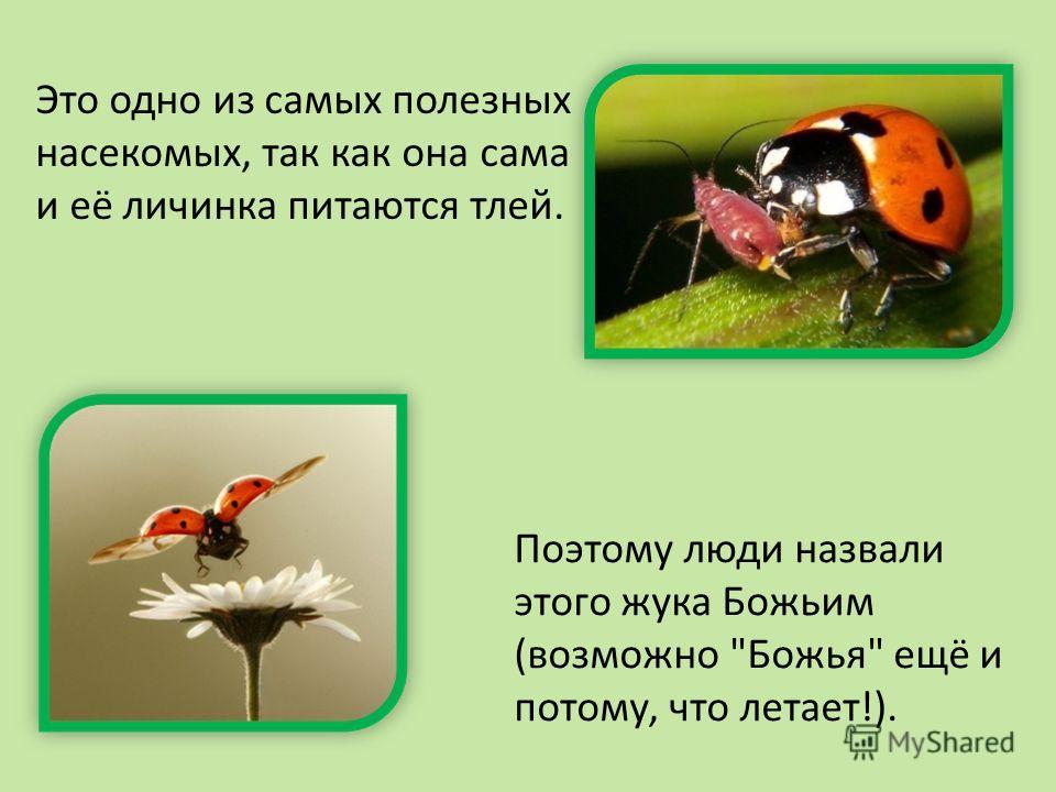 Поэтому люди назвали этого жука Божьим (возможно Божья ещё и потому, что летает!). Это одно из самых полезных насекомых, так как она сама и её личинка питаются тлей.