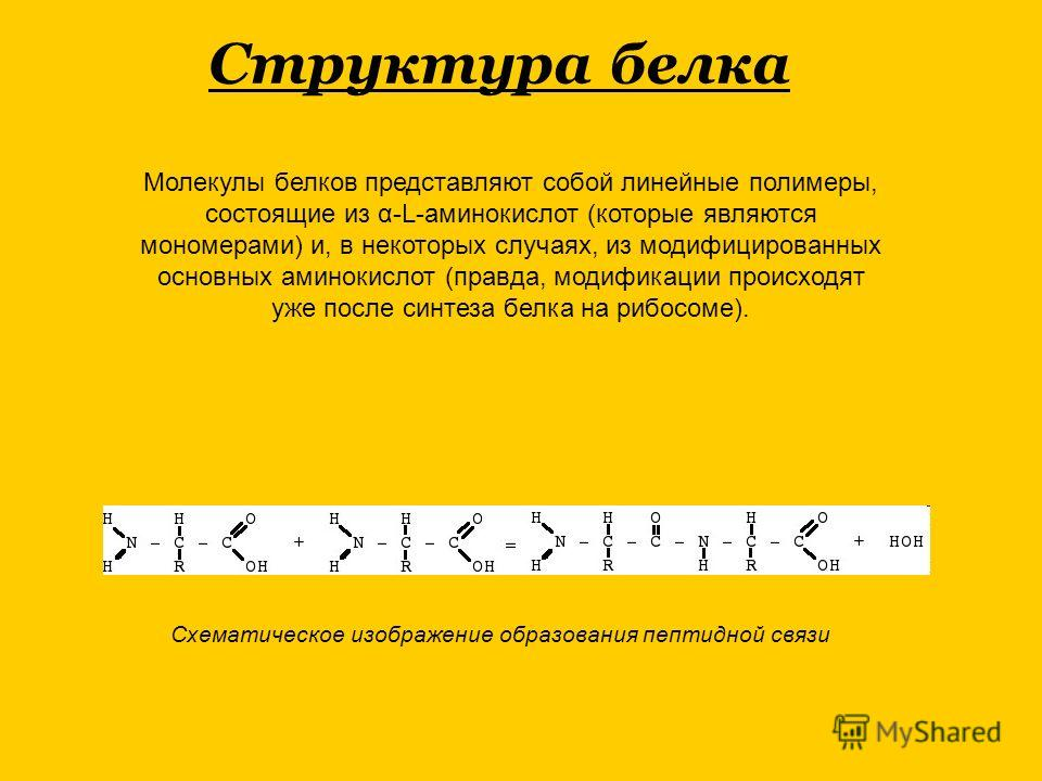 Молекулы белков представляют собой линейные полимеры, состоящие из α-L-аминокислот (которые являются мономерами) и, в некоторых случаях, из модифицированных основных аминокислот (правда, модификации происходят уже после синтеза белка на рибосоме). Сх