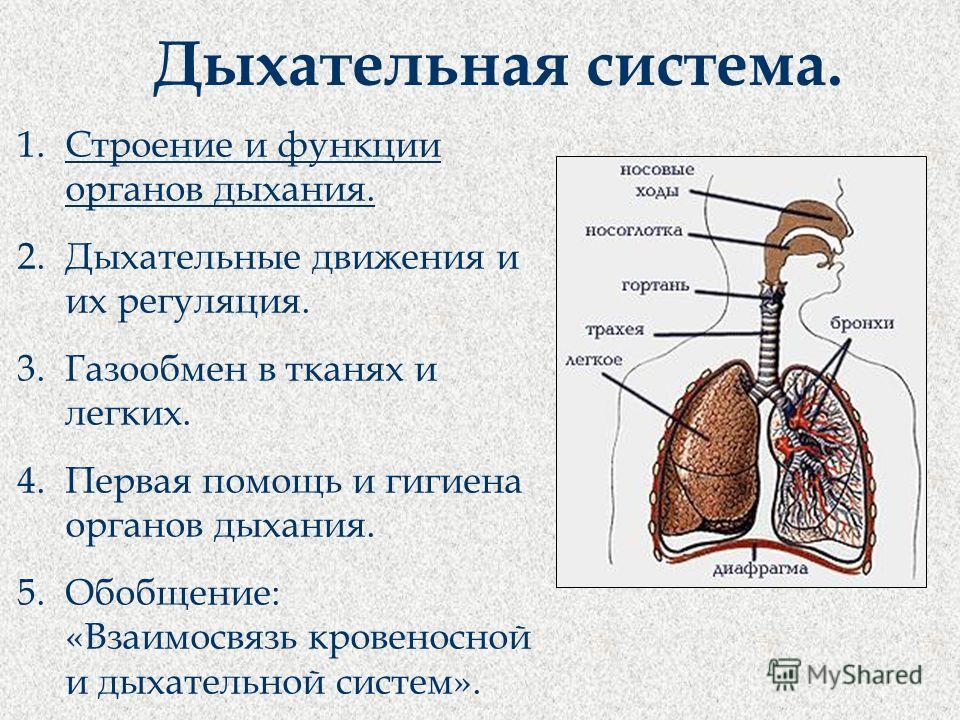 Дыхательная система. 1.Строение и функции органов дыхания. 2.Дыхательные движения и их регуляция. 3.Газообмен в тканях и легких. 4.Первая помощь и гигиена органов дыхания. 5.Обобщение: «Взаимосвязь кровеносной и дыхательной систем».