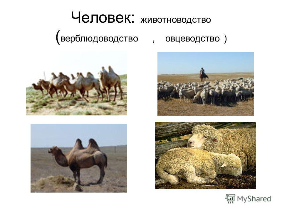 Человек: животноводство ( верблюдоводство, овцеводство )