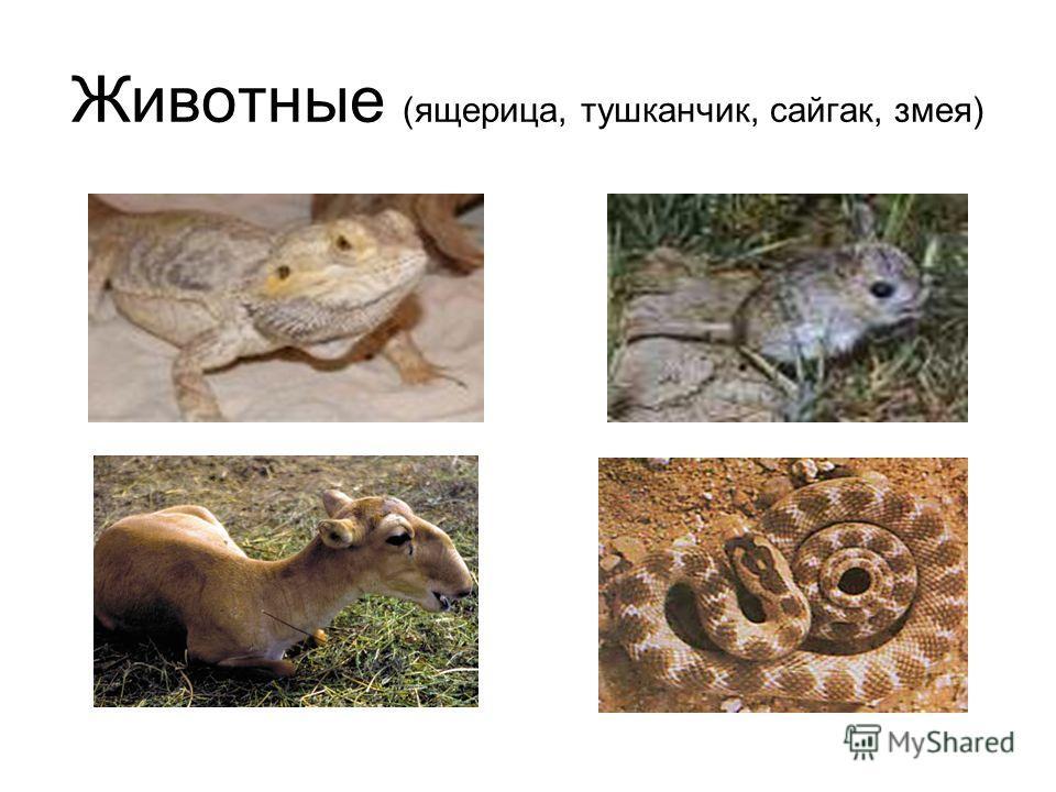 Животные (ящерица, тушканчик, сайгак, змея)