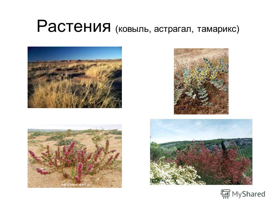 Растения (ковыль, астрагал, тамарикс)