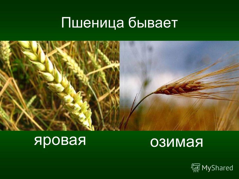 Пшеница бывает яровая озимая