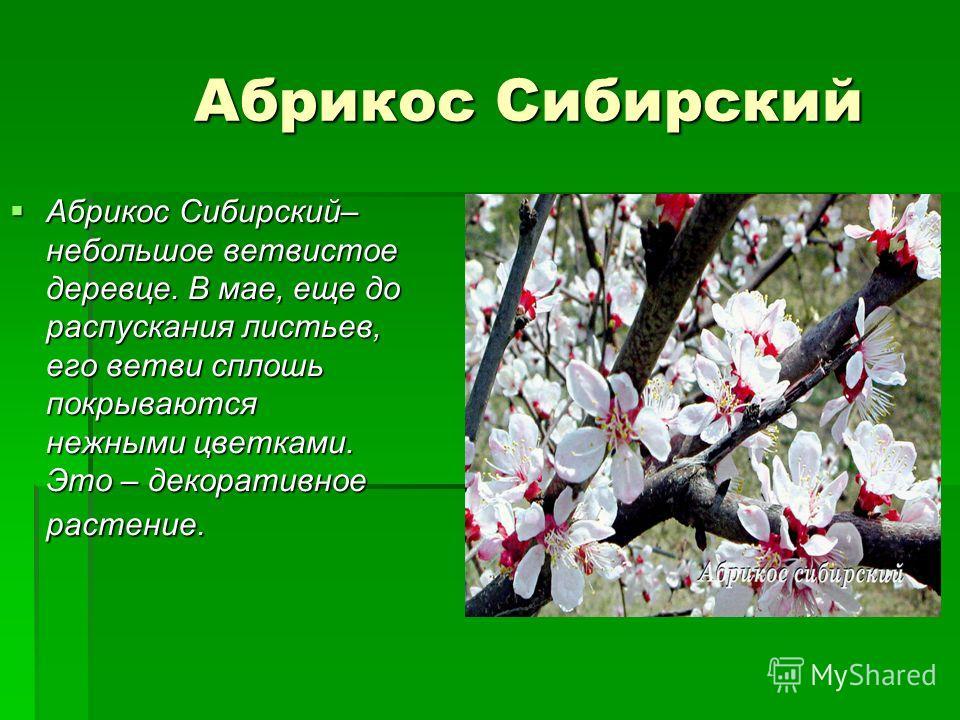Абрикос Сибирский Абрикос Сибирский Абрикос Сибирский– небольшое ветвистое деревце. В мае, еще до распускания листьев, его ветви сплошь покрываются нежными цветками. Это – декоративное растение. Абрикос Сибирский– небольшое ветвистое деревце. В мае,