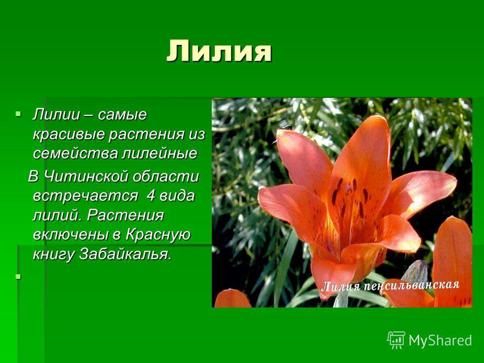 Лилия Лилия Лилии – самые красивые растения из семейства лилейные Лилии – самые красивые растения из семейства лилейные В Читинской области встречается 4 вида лилий. Растения включены в Красную книгу Забайкалья. В Читинской области встречается 4 вида