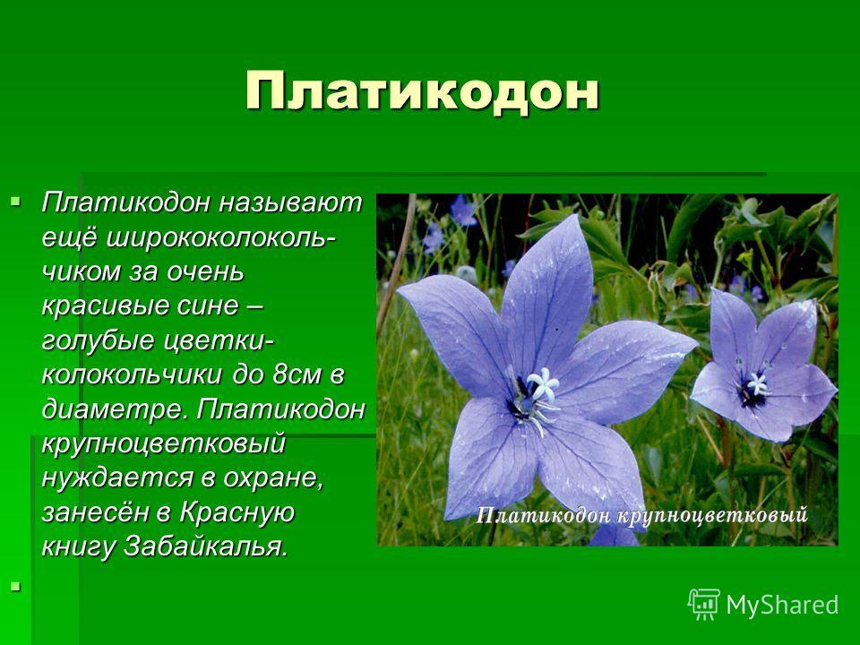 Платикодон Платикодон Платикодон называют ещё ширококолоколь- чиком за очень красивые сине – голубые цветки- колокольчики до 8см в диаметре. Платикодон крупноцветковый нуждается в охране, занесён в Красную книгу Забайкалья. Платикодон называют ещё ши