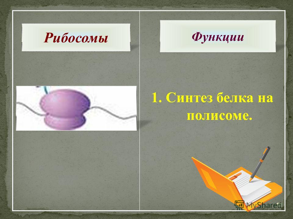11 1.Синтез белка на полисоме. Рибосомы Функции