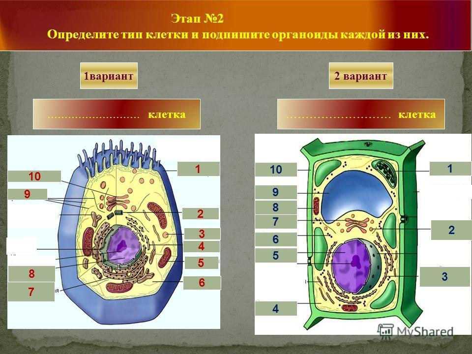 ……………………… клетка 1вариант 4 1 3 1 4 5 6 7 8 9 10 1 1 1 1 2 1 2 3 4 5 6 7 9 8 Этап 2 Определите тип клетки и подпишите органоиды каждой из них. 2 вариант