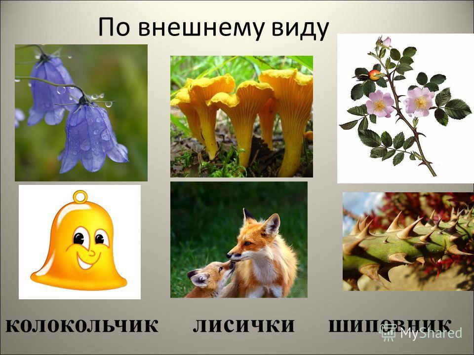 По внешнему виду колокольчик лисички шиповник