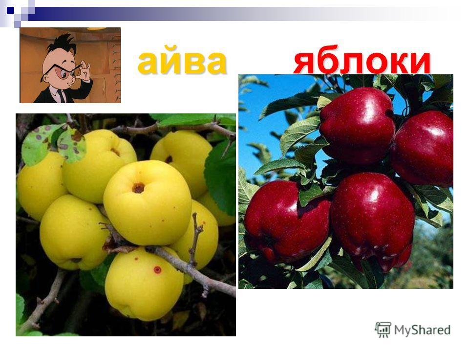 айваяблоки айва яблоки