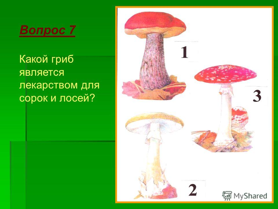 Вопрос 7 Какой гриб является лекарством для сорок и лосей?