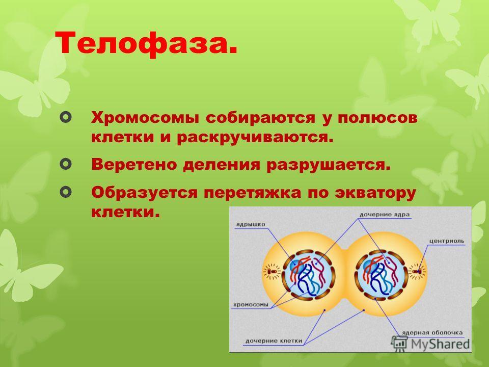 Телофаза. Хромосомы собираются у полюсов клетки и раскручиваются. Веретено деления разрушается. Образуется перетяжка по экватору клетки.