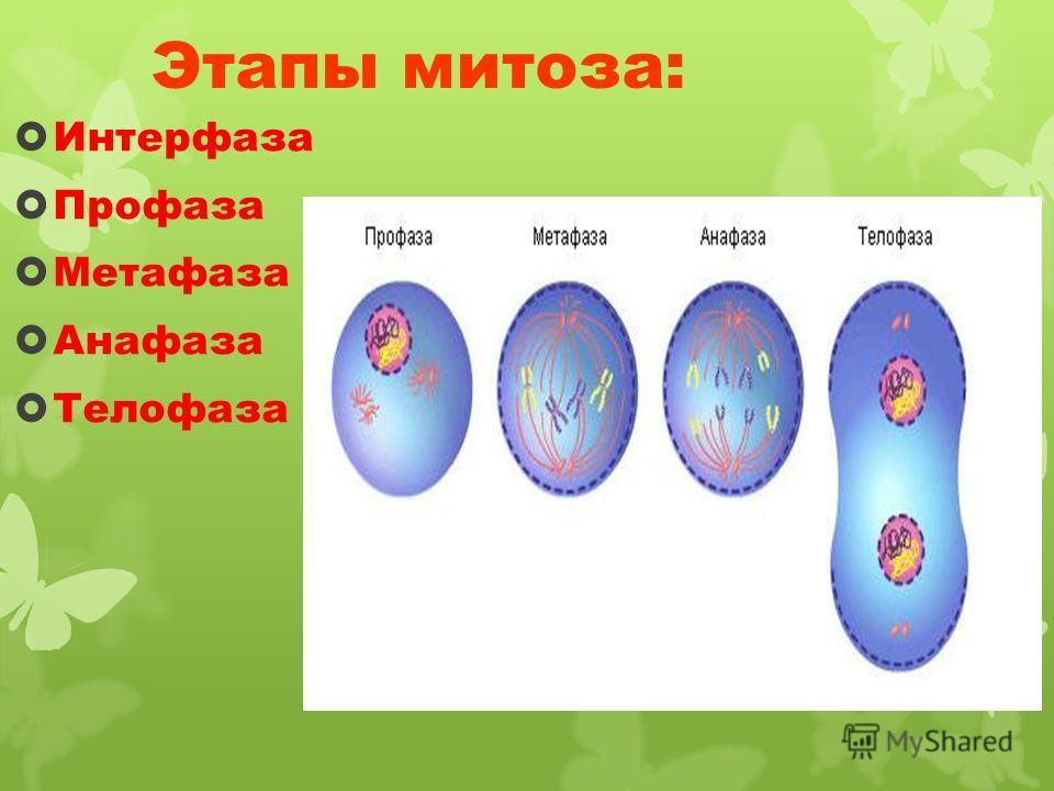 Этапы митоза: Интерфаза Профаза Метафаза Анафаза Телофаза