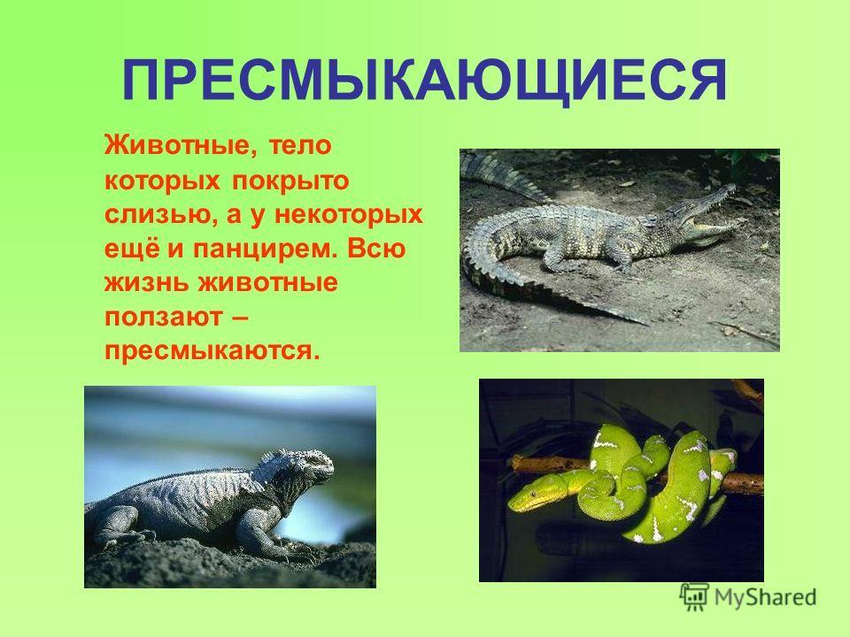 ПРЕСМЫКАЮЩИЕСЯ Животные, тело которых покрыто слизью, а у некоторых ещё и панцирем. Всю жизнь животные ползают – пресмыкаются.