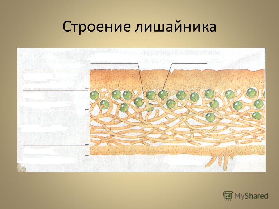 Строение лишайника