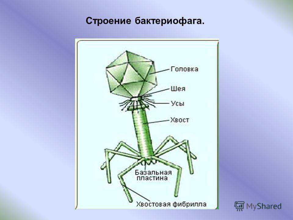 Строение бактериофага.