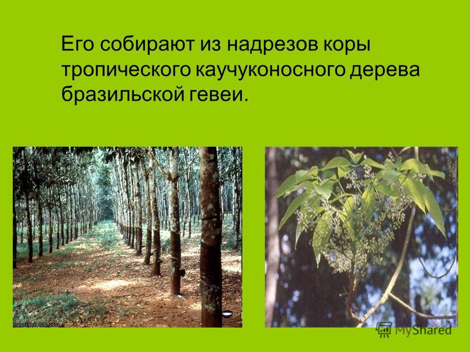 Его собирают из надрезов коры тропического каучуконосного дерева бразильской гевеи.