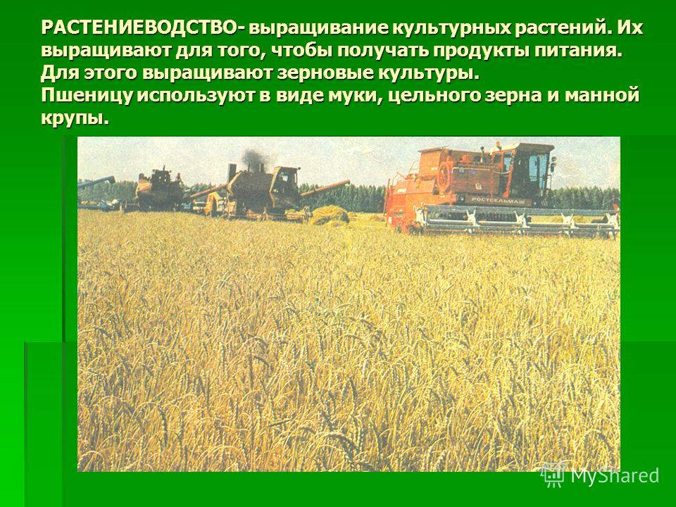 РАСТЕНИЕВОДСТВО- выращивание культурных растений. Их выращивают для того, чтобы получать продукты питания. Для этого выращивают зерновые культуры. Пшеницу используют в виде муки, цельного зерна и манной крупы.