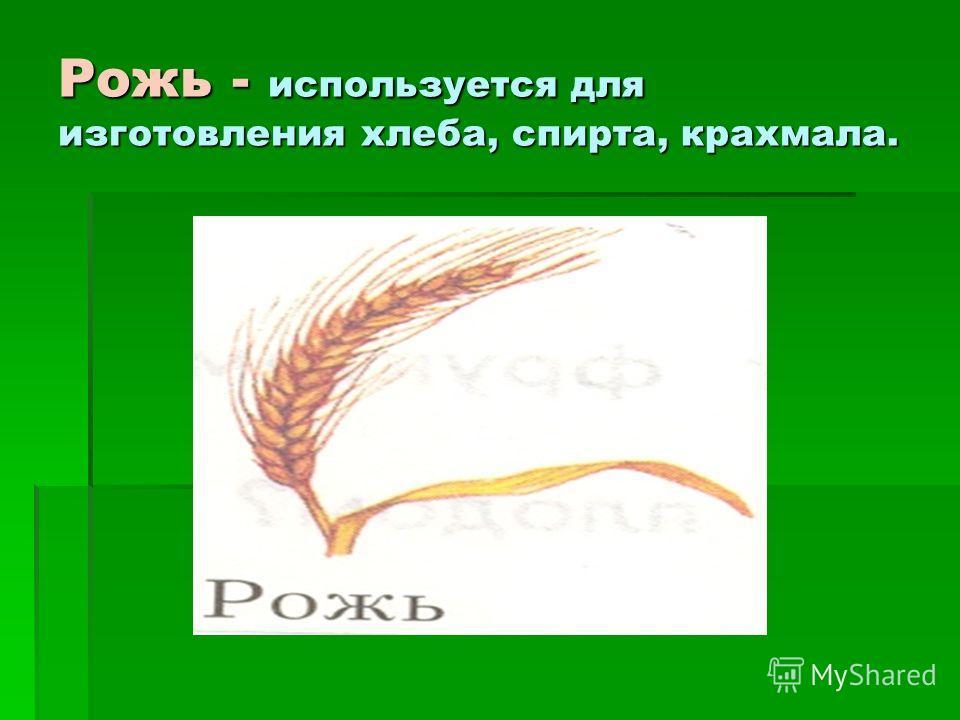 Рожь - используется для изготовления хлеба, спирта, крахмала.