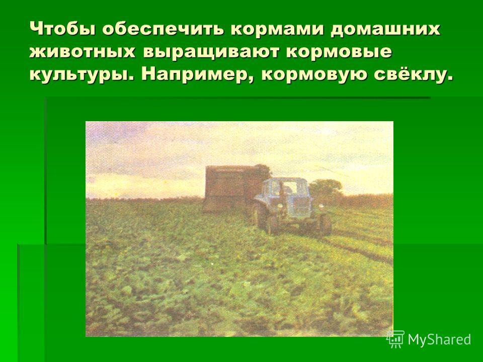 Чтобы обеспечить кормами домашних животных выращивают кормовые культуры. Например, кормовую свёклу.