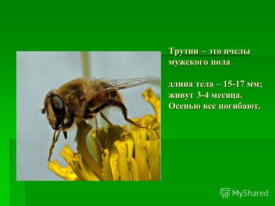 Трутни – это пчелы мужского пола длина тела – 15-17 мм; живут 3-4 месяца. Осенью все погибают.
