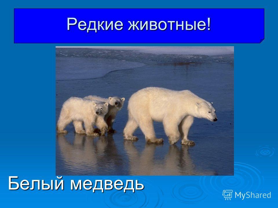 Белый медведь Редкие животные!