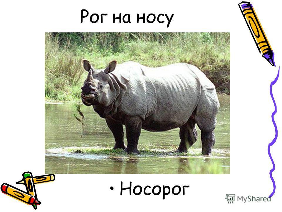 Рог на носу Носорог