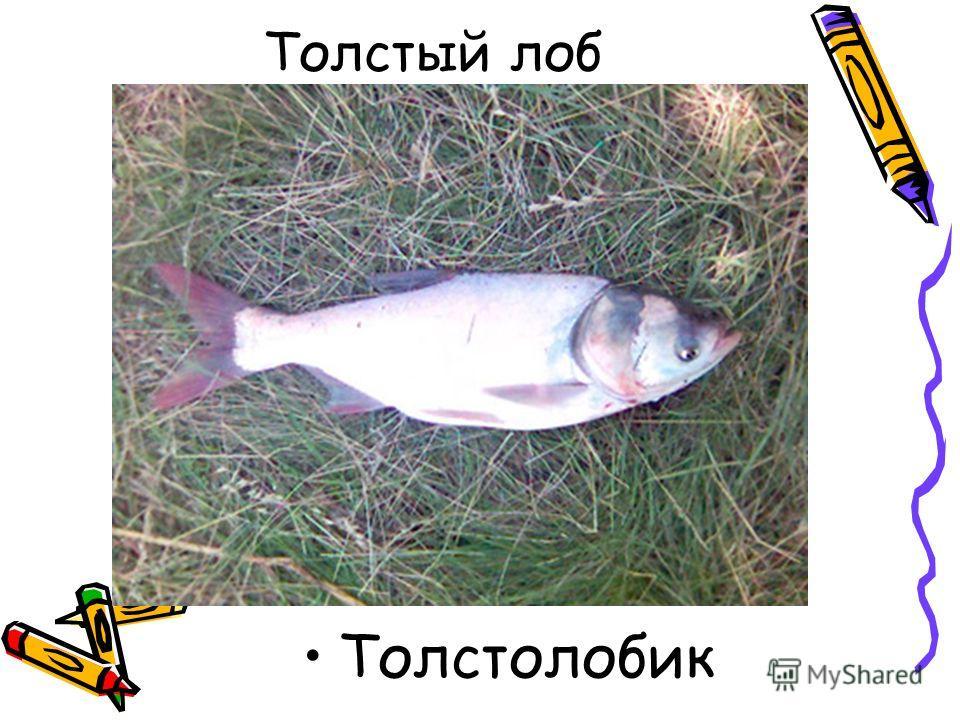 Толстый лоб Толстолобик