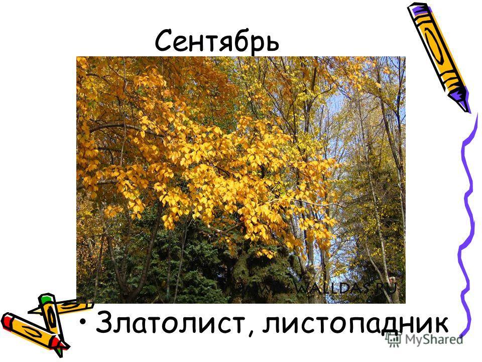Сентябрь Златолист, листопадник