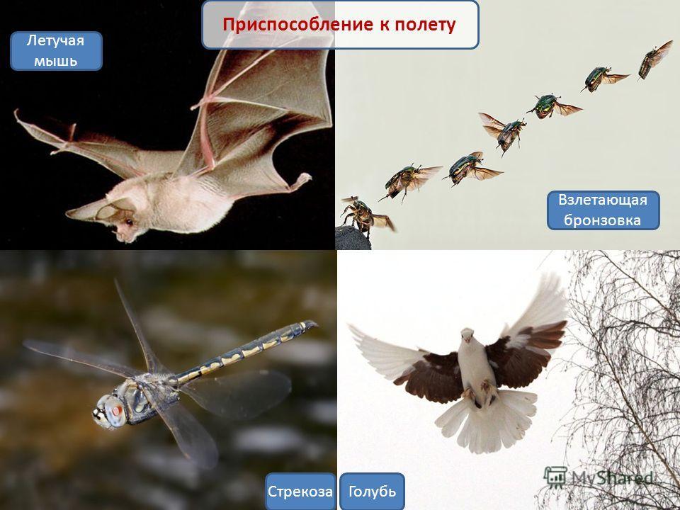 Взлетающая бронзовка Приспособление к полету ГолубьСтрекоза Летучая мышь